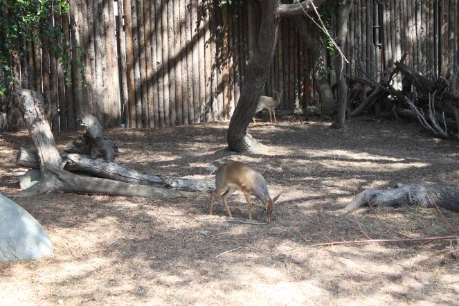San Diego Safari Park. Go on the Caravan Safari tour where you can feed giraffes and rhinos! On sunscreenandplanes.com-1 (2)
