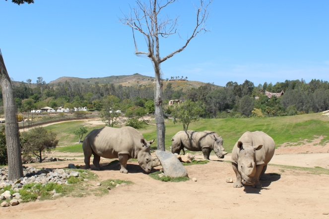 San Diego Safari Park. Go on the Caravan Safari tour where you can feed giraffes and rhinos! On sunscreenandplanes.com (10)