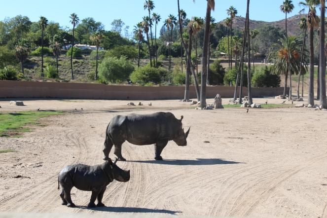 San Diego Safari Park. Go on the Caravan Safari tour where you can feed giraffes and rhinos! On sunscreenandplanes.com (2)