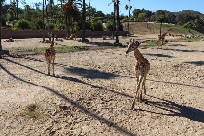 San Diego Safari Park. Go on the Caravan Safari tour where you can feed giraffes and rhinos! On sunscreenandplanes.com (3)