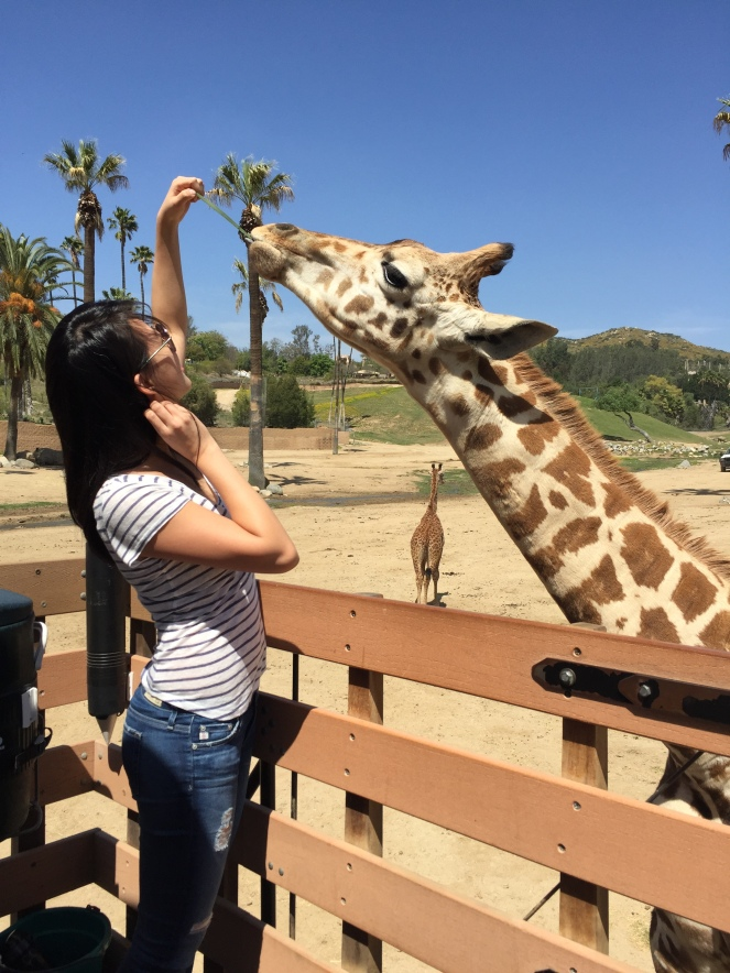 San Diego Safari Park. Go on the Caravan Safari tour where you can feed giraffes and rhinos! On sunscreenandplanes.com-4